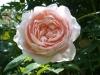 ambridge-rose-728