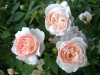 ambridge-rose-729