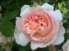 ambridge-rose-730