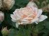 ambridge_rose_austin_1990_4506