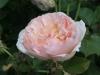 apricot_parfait_austin_1992_4534