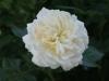 Crocus Rose® Syn. Emanuel®