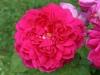 Sophys Rose® Austin 1997_4547