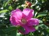 Rosa rugosa, die Kartoffelrose