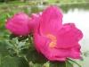 In Nieblum auf Föhr, Rosa rugosa am Dorfteich