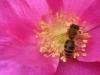 Biene auf Rose rugosa