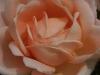 Ambridge Rose®, David Austin 1990