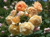 Crown Princess Margareta®, David Austin 1999
