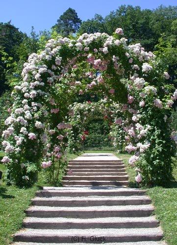 Einer der vielen blühenden Rosenbögen