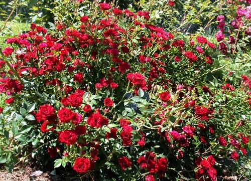 Red Cascade (?)