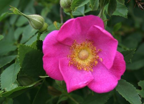 \'Rosa virginiana\'; Miller vor 1807 eingeführt