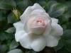 Aspirin Rose®; Tantau 1997