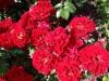 Scarlet Meidiland®; Meilland 1986 eingeführt
