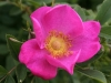 'Rosa virginiana'; Miller vor 1807 eingeführt