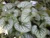 brunnera_macrophylla_kaukasus_vergissmeinnicht_6444