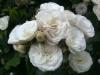 Bouquet Parfait, Züchter: Lens, 1989, Moschus-Rose (Hybride)