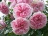 Granny, Sy. My Granny, Pouloma, Züchter: Poulsen 1991, Polyantha-Rose, Floribunda