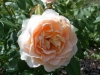 Rose ohne Namen