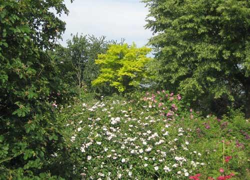Wild-romantisch, der Rosenhang in Karben