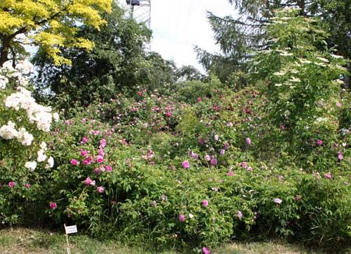 2011, in diesem Jahr blühen die Rosen mindestens 2 Wochen früher