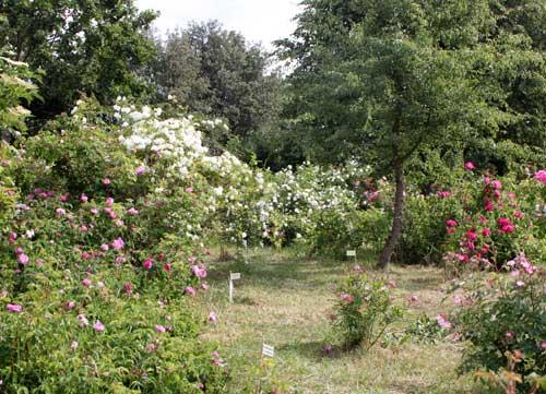 Jedes freie Plätzchen wird für neue Rosen genutzt