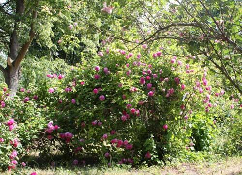 Der Rosenhang Karben, im Mai 2011