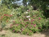 Rosenhang Karben 2011, üppige Blüte