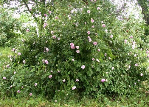 Zeit der Rosenblüte in Karben