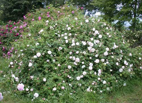 Blühende Rosen - Rosenhang Karben, hier blüht Leda
