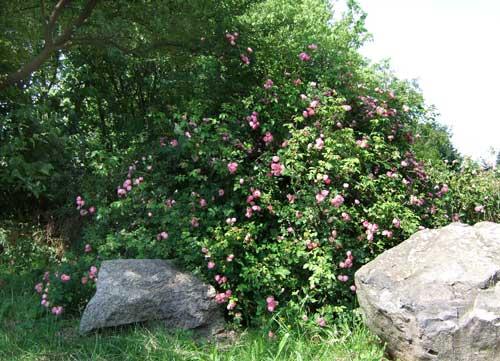 Raubritter - Rosenblüte in Karben