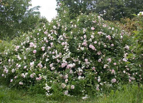 Rosenhang in Karben, Small Maidens Blush