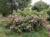 Blühende Rosen - Rosenhang Karben