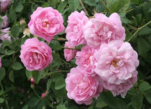 Belle-Amour, entdeckt 1940 im Kloster Elboeuf, Alba-Rose