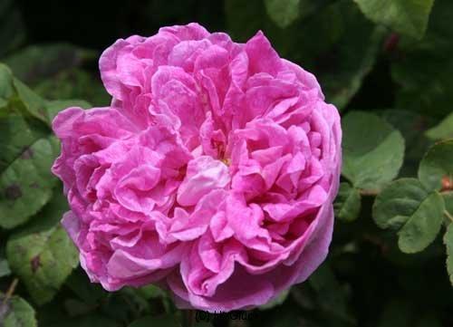 Belle Des Jardins, Züchter: Guillot Fils, 1872, Gallica-Rose