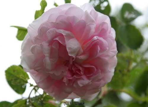 Chloris, Syn. Rose du Matin, Herkunft unbekannt, vor 1835, Alba-Rose