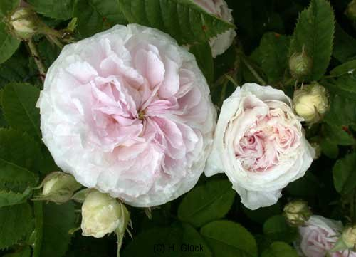 Felicité Parmentier, Herkunft unbekannt, 1834, Alba-Rose