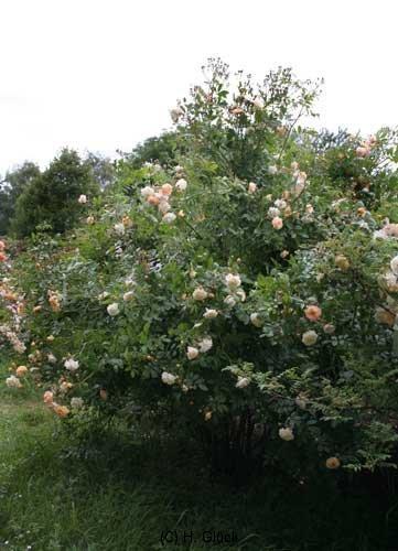 Ghislaine De Feligonde Züchter: Turbat, 1916, Rosa multiflora Hybride