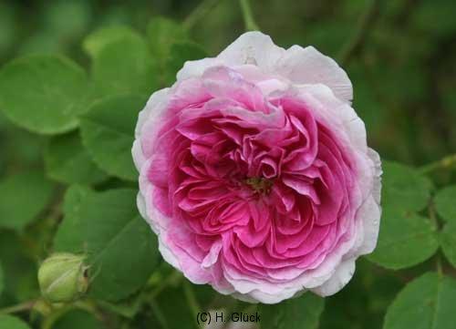 Gilda, Züchter: Geschwind, 1887, Rosa Multiflora