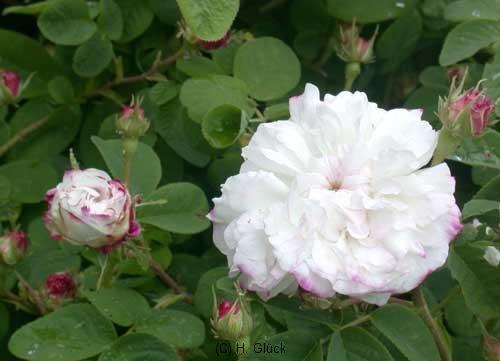 Leda, Herkunft unbekannt, eingeführt vor 1827, Damaszener-Rose