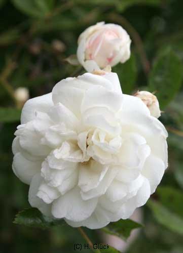 Marie Jeanne, Züchter: Turbat, 1913, Rosa multiflora, Polyantha-Rose