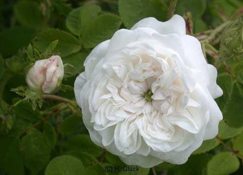 Mme Hardy, Züchter: Hardy, 1832, Alte Rose, Damaszener-Rose