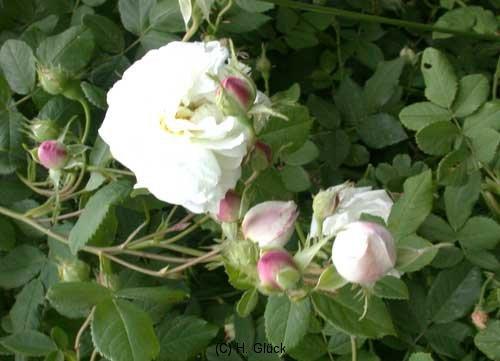 Mme Plantier, Züchter: Plantier, 1835, Alba-Rose