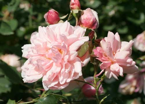 Rose ohne Namen