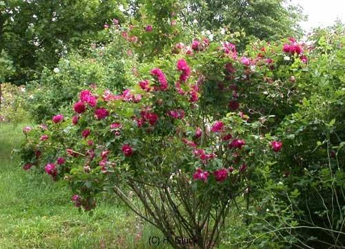 Rose ohne Etikett