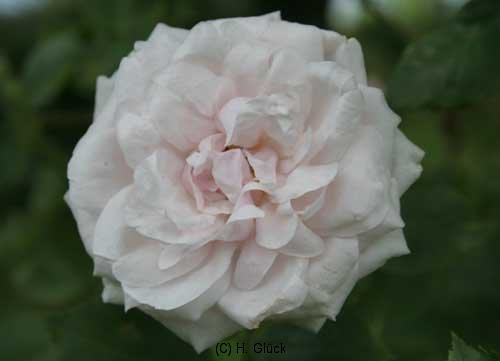 Perle des Blanches, Syn. Ball of Snow, Züchter: Lacharme, 1872, Noisette-Rose