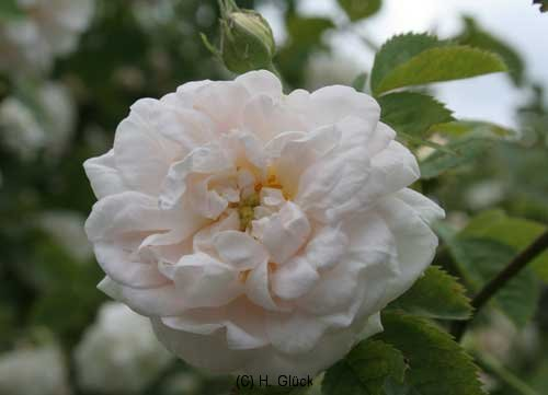 Pompon Blanc Parfait, Züchter: Verdier,1876, Alba-Rose