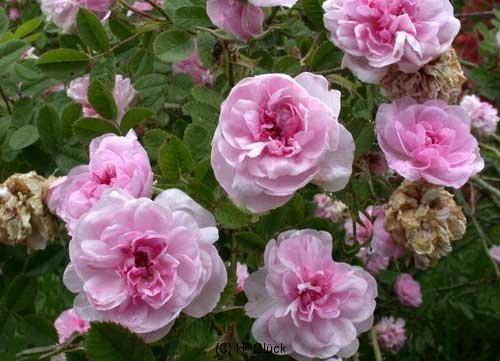 Rose De Meaux, kultiviert seit 1789, Zentifolie