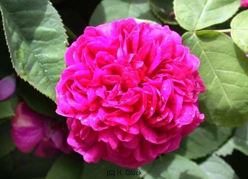 Rose de Resht, eingeführt durch Lindsay 1940, Damaszener-Rose