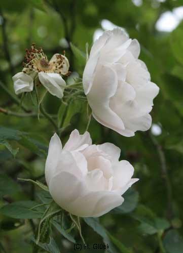Semiplena, 16. Jahrhundert, Alba-Rose