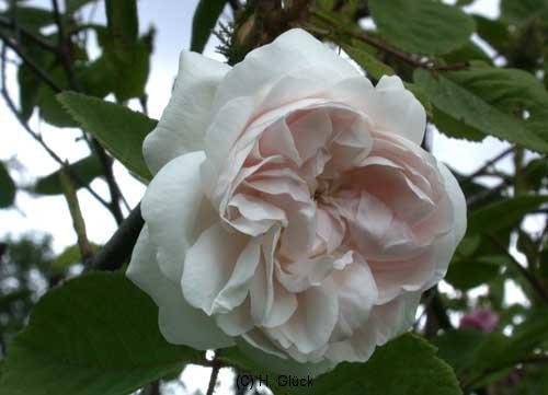 Shailers White Moss, Züchter: Shailer 1788, Weiße Moosrose, Rosa x centifolia muscosa alba